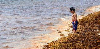 El sargazo en playas es un problema de salud pública