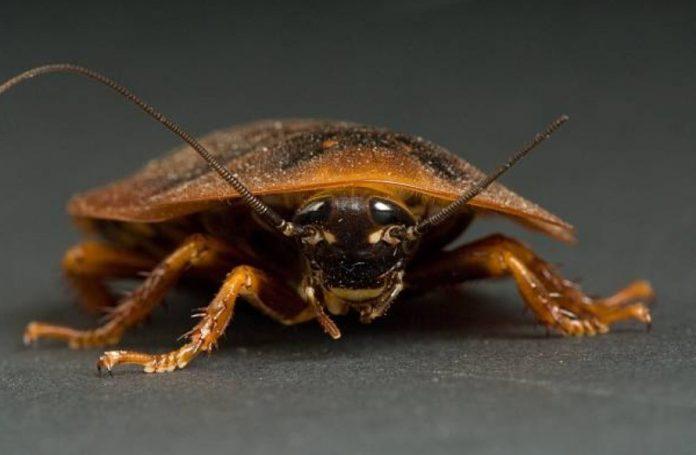La temida evolución de las cucarachas y su resistencia a los insecticidas
