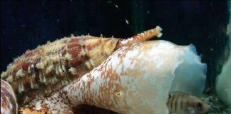 Analizan utilidad del veneno de caracol marino para tratar el dolor crónico