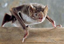 Puede que los murciélagos sean inmunes al coronavirus por esta razón
