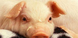 La OMS se dice tranquiliza tras reportes de virus de gripe porcina en China