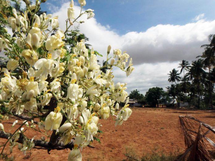 Estudio desarrollado en la UNAM destaca beneficios de la moringa