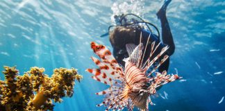 En el Cinvestav analizan las toxinas del pez león para entender el proceso del Alzheimer