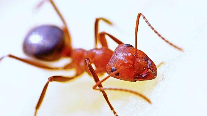 Así ayudan las hormigas a entender el envejecimiento de los ovarios