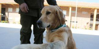 Perros detecta Covid-19, la nueva estrategia de prevención