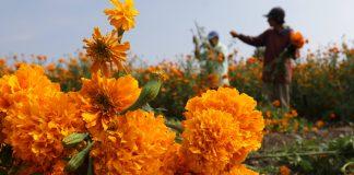 A partir de hongos y bacterias, mejoran la flor de cempasúchil