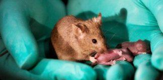 Científicos lograron que ratones con parálisis volvieran a caminar
