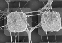 Científicos usarán células madre del cerebro para crear microchips