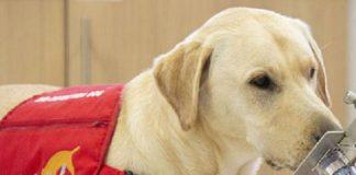 Perros pueden detectar Covid-19 más rápido y con menos costos
