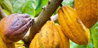Tomar cacao puede mejorar el rendimiento cognitivo