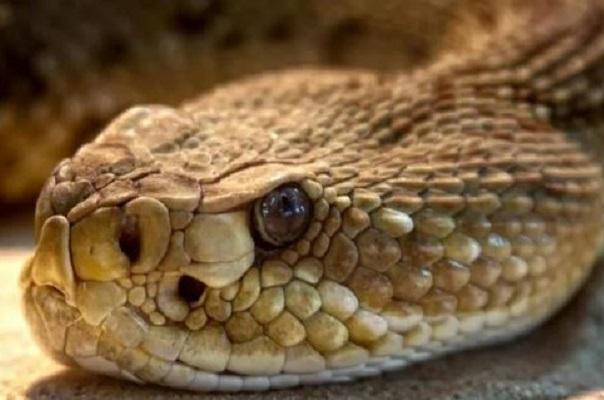 Identifican en veneno de serpiente sustancia que impide reproducción del COVID-19