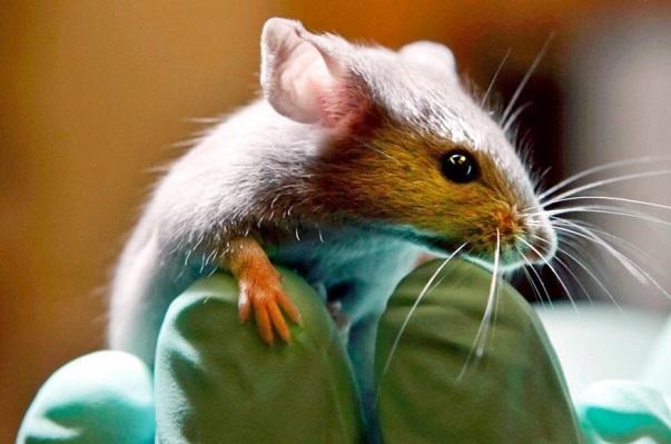 Mutación genética en ratones es capaz de bloquear el VIH y el ébola