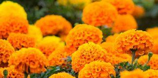 La flor de cempasúchil es también una planta medicinal